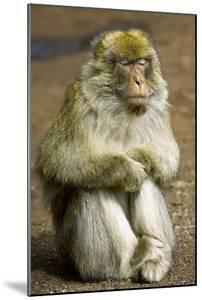Barbary Macaque by Bob Gibbons
