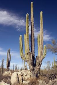 Cardon Cacti (Pachycereus Pringlei) by Bob Gibbons