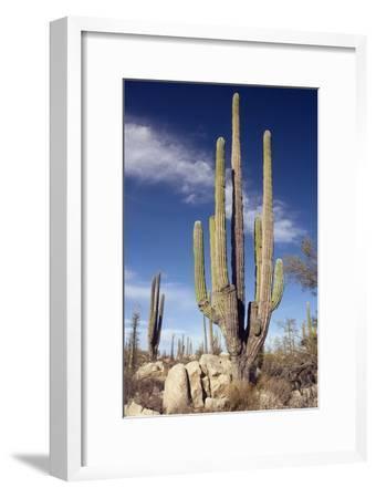 Cardon Cacti (Pachycereus Pringlei)