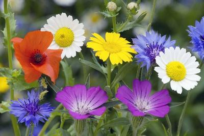 Cornfield Weed Flowers