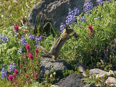 Golden-mantled Ground Squirrel Feeding