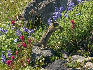 Golden-mantled Ground Squirrel Feeding by Bob Gibbons