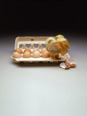 Chicks in a Carton of Eggs