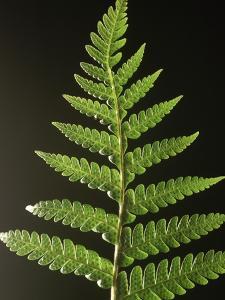 Fern Leaves by Bob Krist