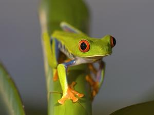 Red-Eyed Leaf Frog by Bob Krist