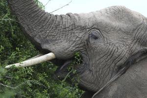 African Elephants 134 by Bob Langrish