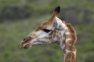 African Giraffes 003 by Bob Langrish