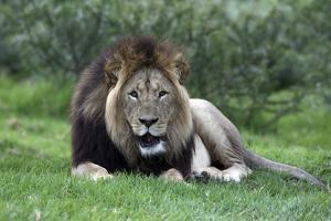 African Lions 002 by Bob Langrish