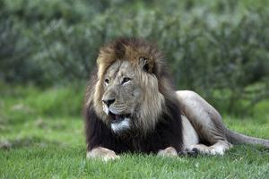 African Lions 003 by Bob Langrish