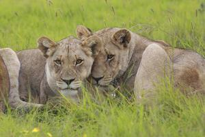 African Lions 014 by Bob Langrish