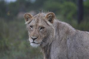 African Lions 022 by Bob Langrish