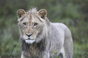 African Lions 100 by Bob Langrish