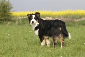 Australian Shepherd 06 by Bob Langrish