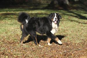 Bernese Mountain Dog 04 by Bob Langrish