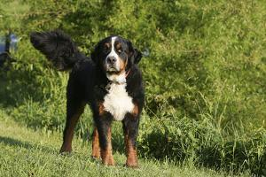 Bernese Mountain Dog 21 by Bob Langrish