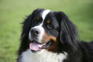 Bernese Mountain Dog 38 by Bob Langrish