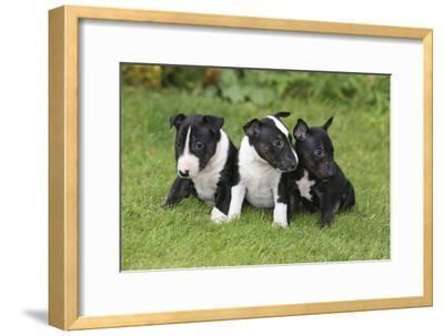 Bull Terrier 01