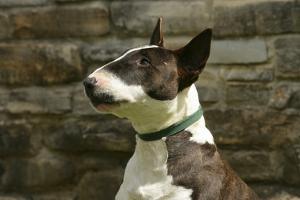 Bull Terrier 05 by Bob Langrish