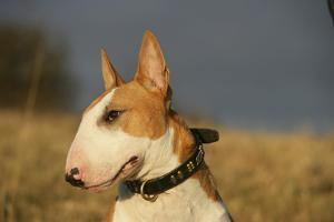 Bull Terrier 14 by Bob Langrish