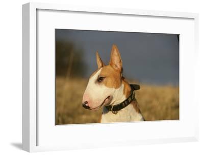 Bull Terrier 14