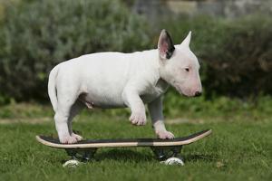 Bull Terrier 22 by Bob Langrish