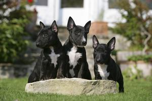 Bull Terrier 23 by Bob Langrish