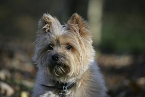 Cairn Terrier 17 by Bob Langrish