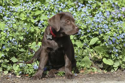 Chocolate Labrador Retriever 37 by Bob Langrish
