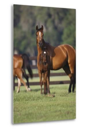 Hennessy Arabians 012