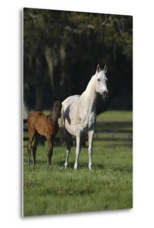 Hennessy Arabians 014