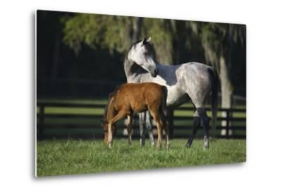 Hennessy Arabians 015