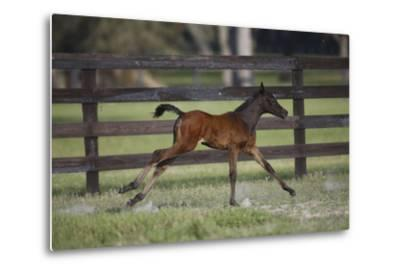 Hennessy Arabians 016