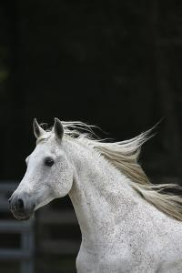 Ploomwood Arabians 004 by Bob Langrish