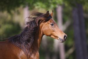 Ploomwood Arabians 035 by Bob Langrish
