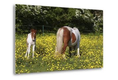 Shetland Pony 018