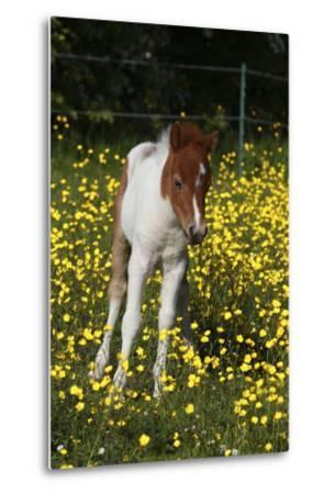 Shetland Pony 019
