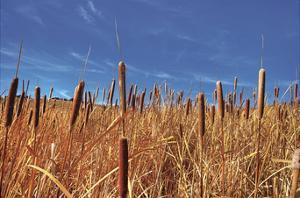 Hot Dog Reeds by Bob Larson