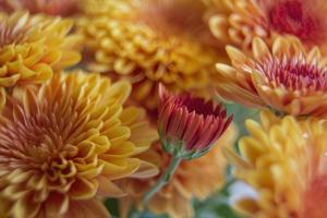 Flaming Fall Mums by Bob Rouse