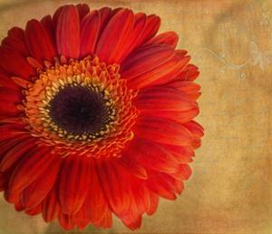 Gerber Daisy by Bob Rouse