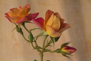 Peachy Rose 2 by Bob Rouse