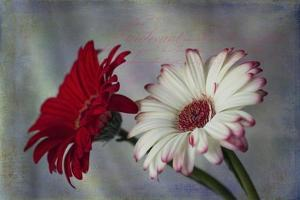Red and White Daises by Bob Rouse