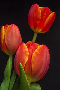 Tom's Tulips by Bob Rouse