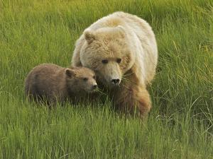 A Coastal Brown Bear, Ursus Arctos, and Cub Eating Fresh Grasses by Bob Smith