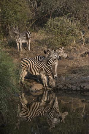 A Herd of Burchell's Zebras at the Water's Edge, and Looking About by Bob Smith