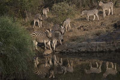 A Herd of Burchell's Zebras at the Water's Edge, and Walking About by Bob Smith