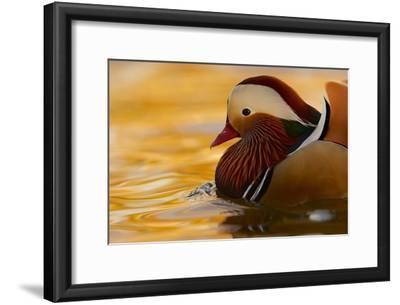 A Mandarin Duck Drake on Water