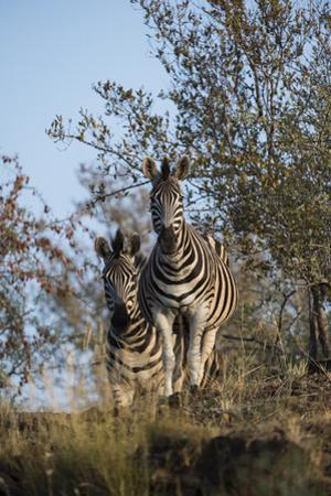 A Portrait of Two Zebras in their Environment by Bob Smith