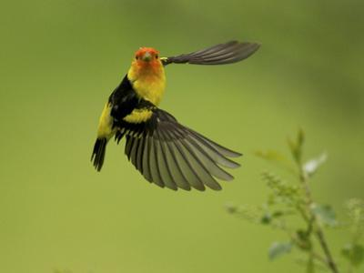 A Western Tanager, Piranga Ludoviciana, Perched on a Twig