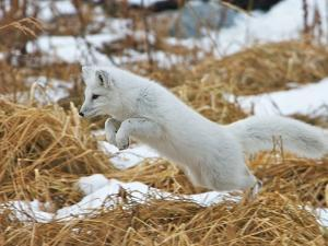 An Arctic Fox, Vulpes Lagopus, Hunting in Brown Grasses by Bob Smith