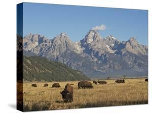 Bison Grazing in the Grasslands Below the Teton Range by Bob Smith